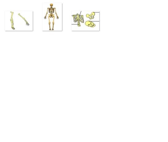 الهيكل العضمي للانسان